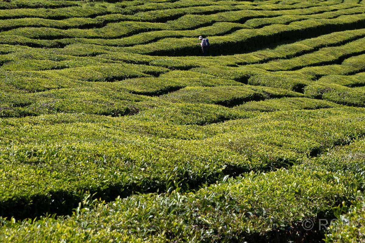 Teeplantagen, Cha Gorreana