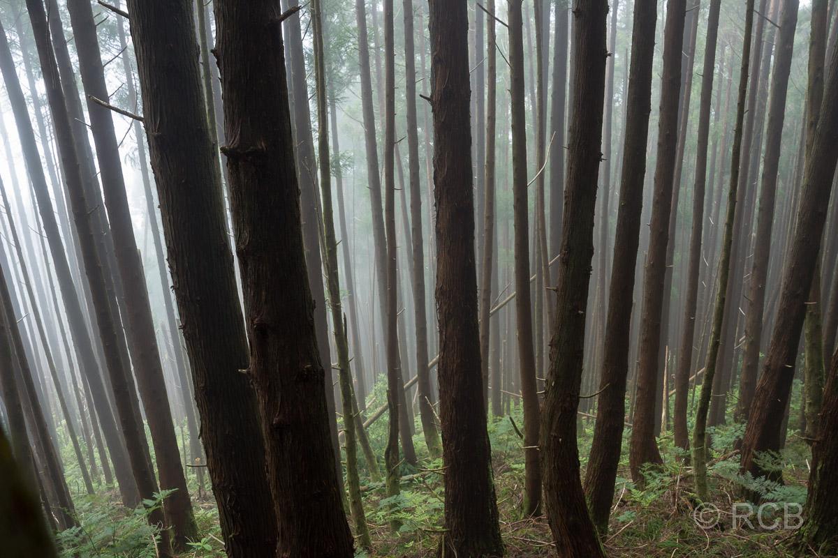 nebeliger Wald an den Hängen des Pico da Vara