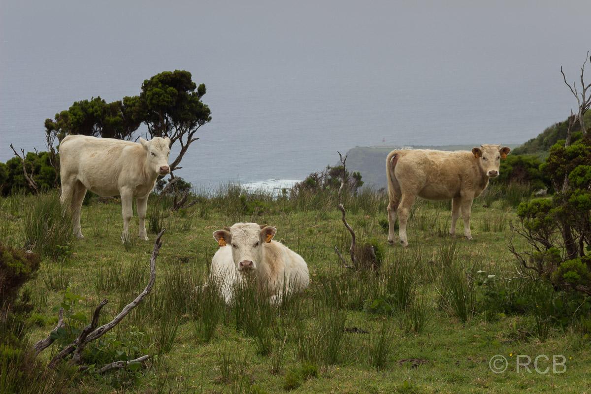 Kühe auf dem PR1FLO
