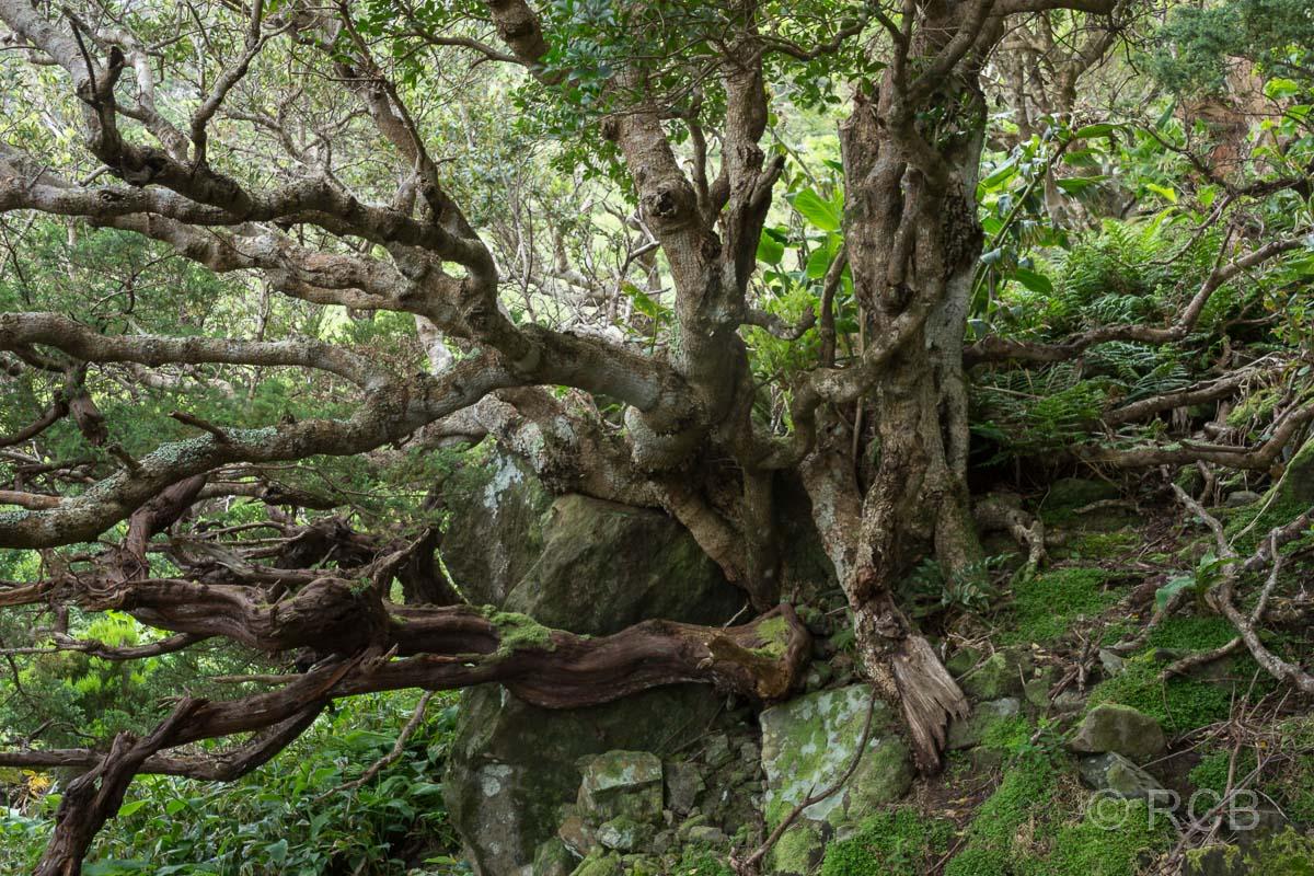 knorriger Baum auf dem PR1FLO