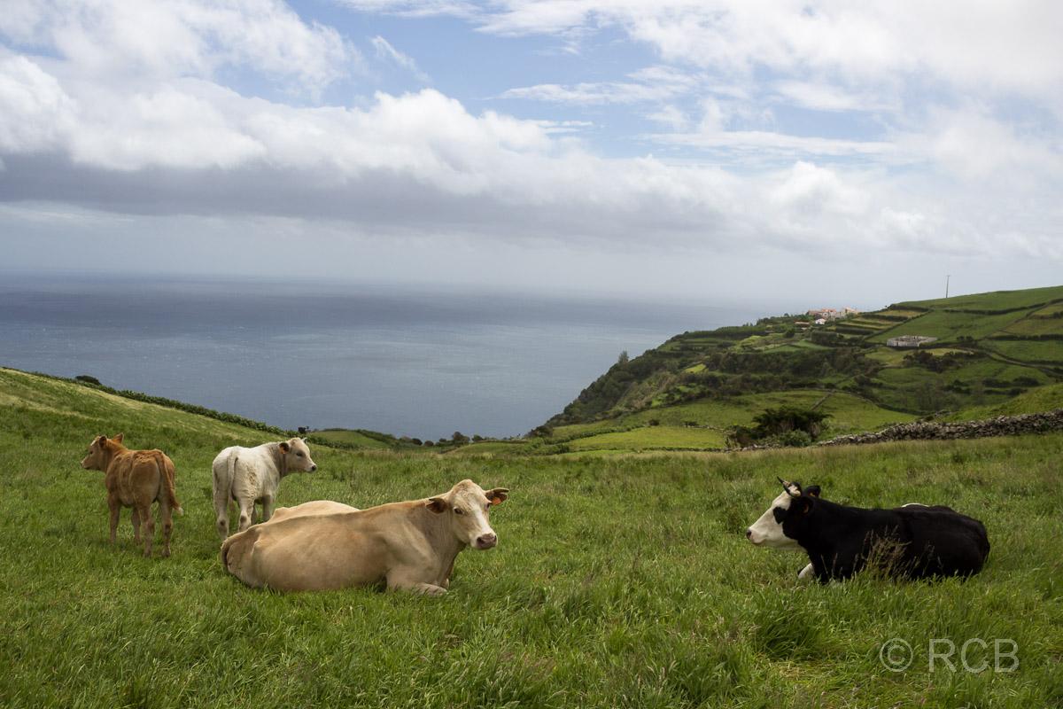 Kühe auf einer Wiese am Meer bei Cedros