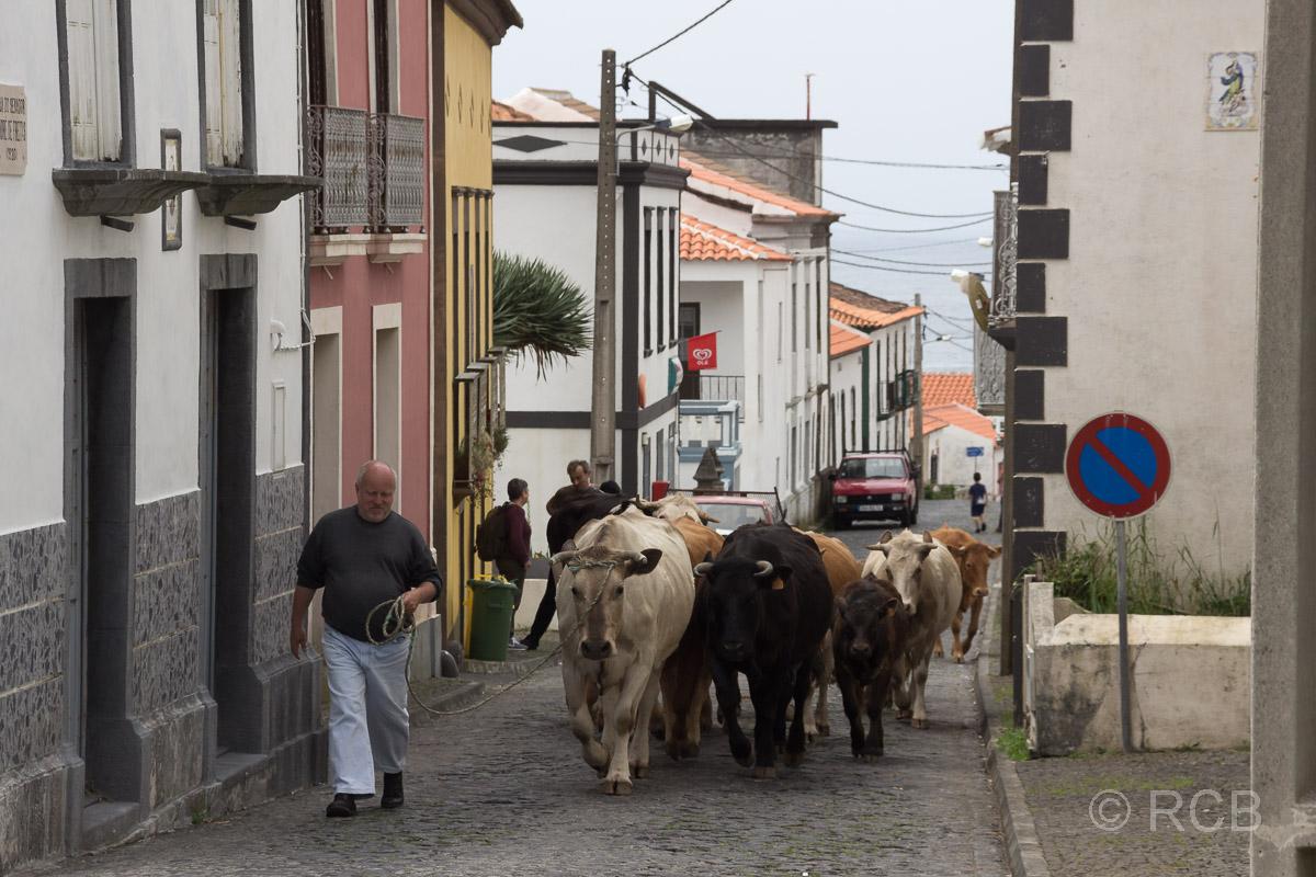 Fajã Grande, Vieh wird durch den Ort getrieben