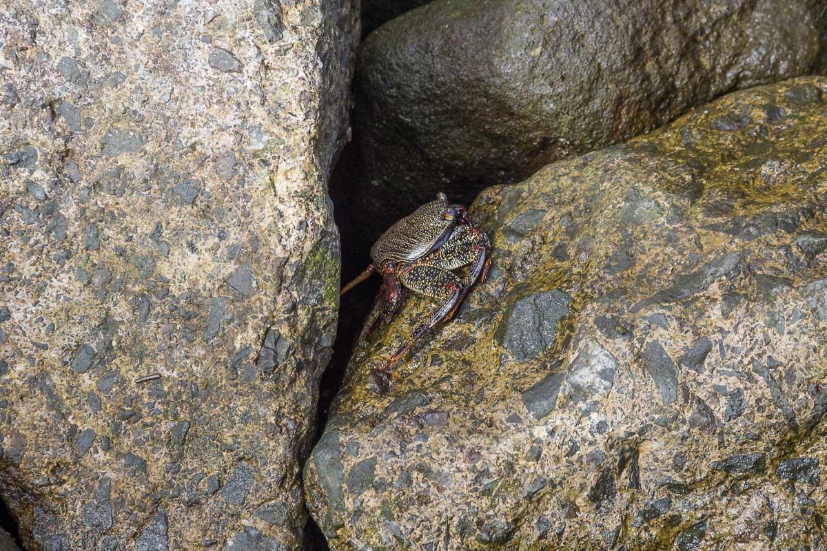 Krabbe im Hafen von Lajes das Flores