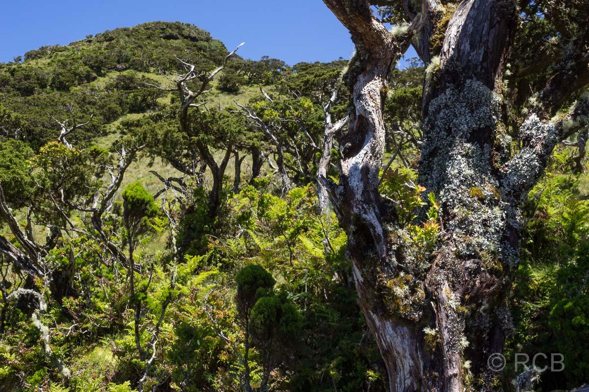 knorrige Bäume und Flechten auf dem PR13PIC