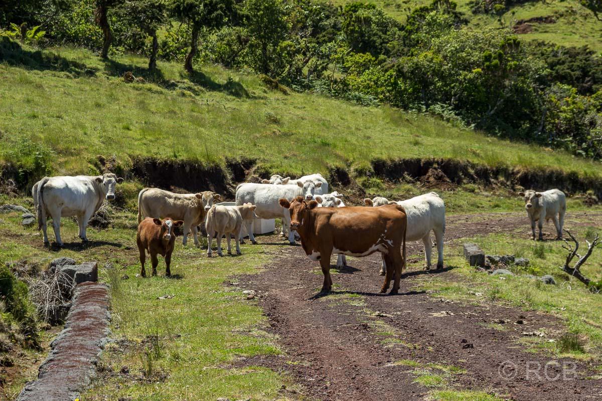 Kühe auf dem PR13PIC