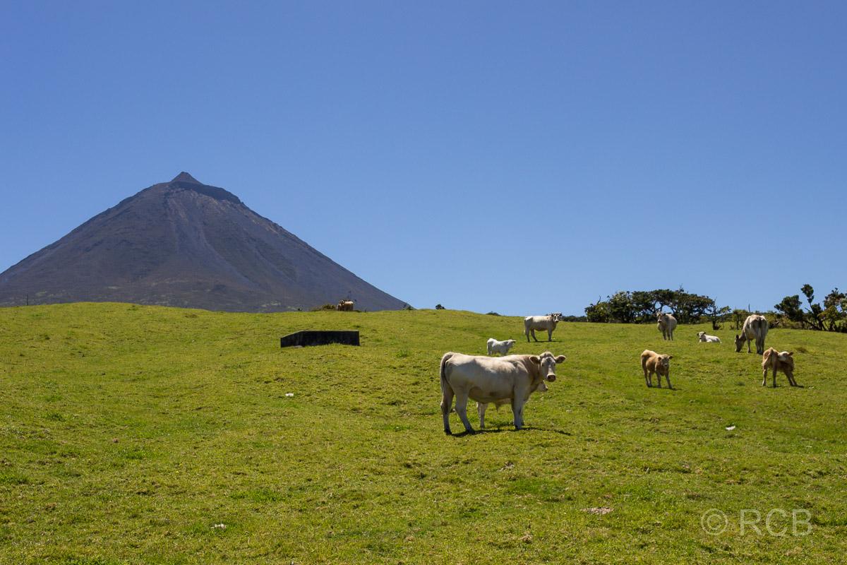 Kühe auf dem PR13PIC mit Blick zum Pico