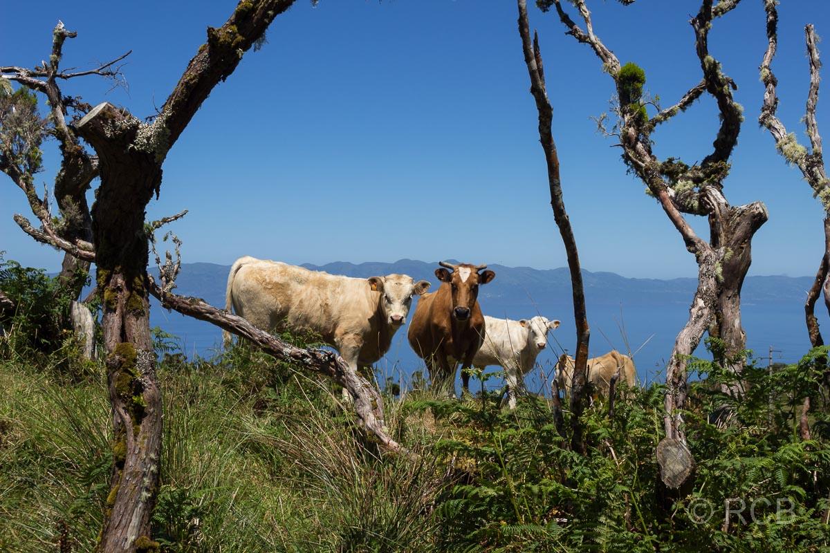 Kühe auf dem PR13PIC, im Hintergrund São Jorge
