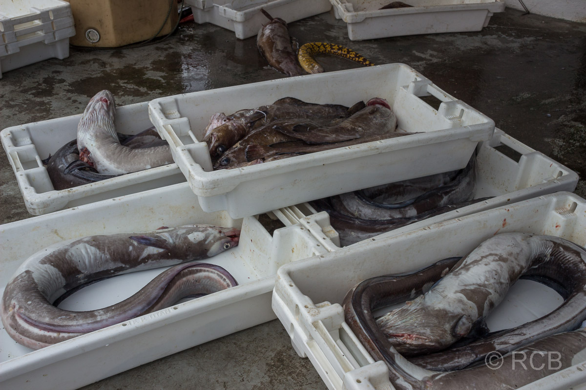 Calheta de Nesquim, frisch gefangene Fische im Hafen