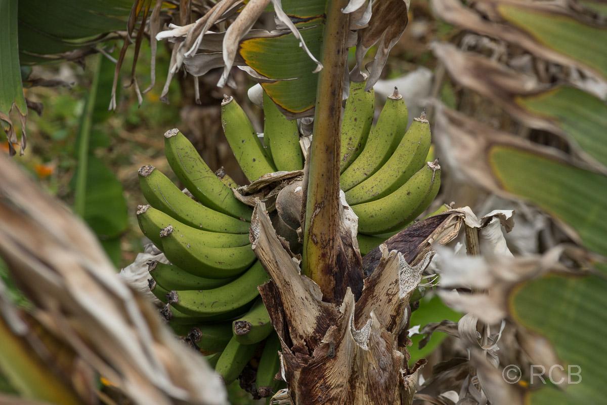 Bananenstaude am Wanderweg PRC11PIC