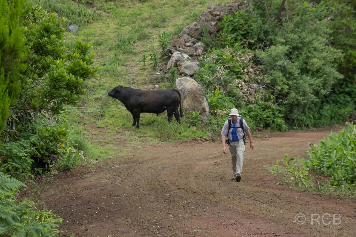 Mann geht zügig an einem großen, freilaufenden Bullen vorbei am PRC11PIC