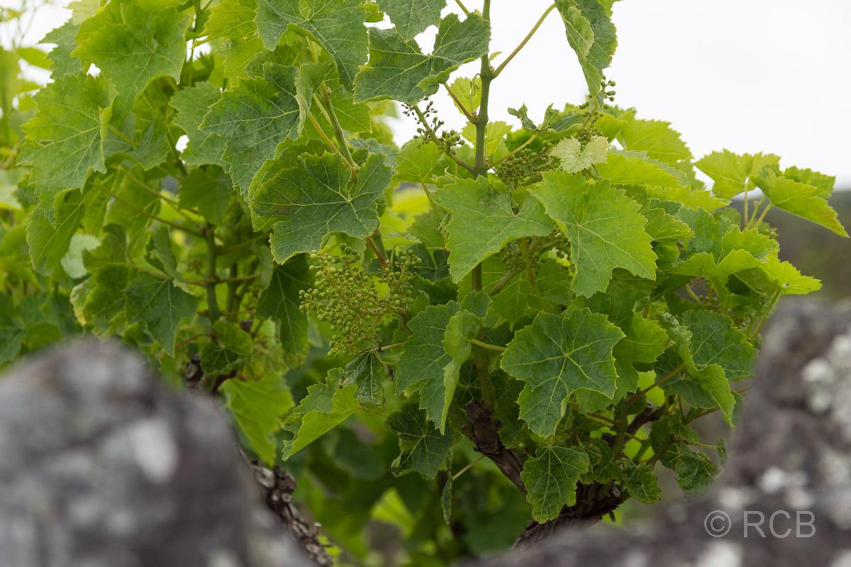 junge Weintrauben am Wanderweg PRC11PIC