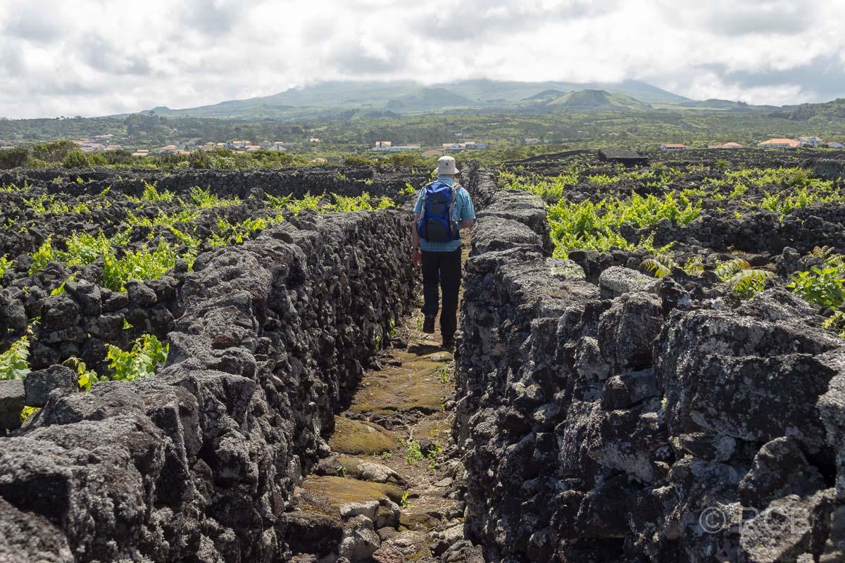 Mann spaziert entlang von Mauern in den Weinbaufeldern