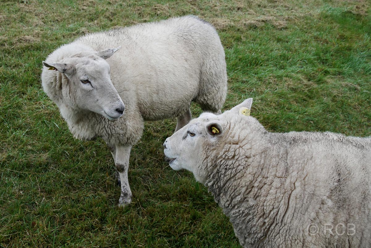Schafe in Fedderwardersiel