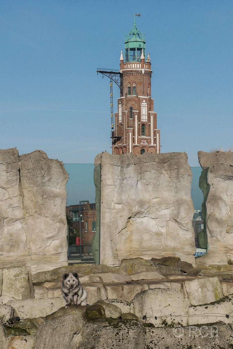 Polarfuchs, Zoo am Meer, Bremerhaven