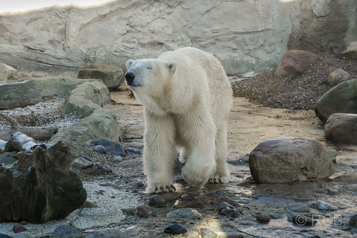 Eisbär, Zoo am Meer, Bremerhaven
