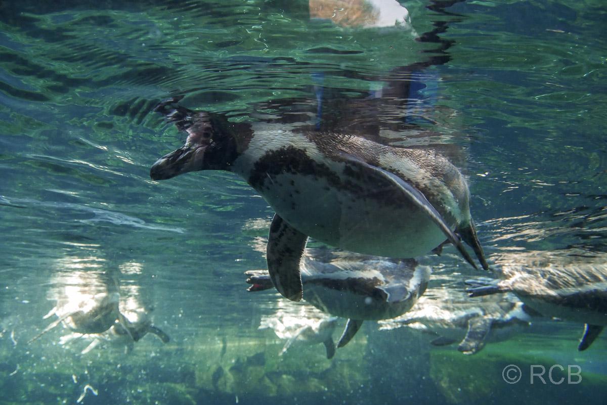 Pinguine unter Wasser, Zoo am Meer, Bremerhaven