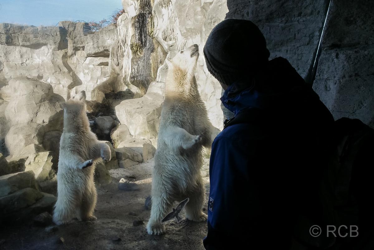 Mann betrachtet Eisbären durch einen Glasscheibe, Zoo am Meer, Bremerhaven