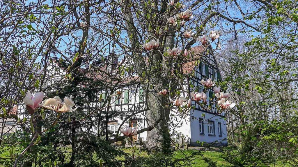 Fachwerkhaus hinter Magnolien in der Elfringhauser Schweiz