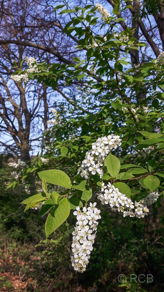 Blühender Baum in der Elfringhauser Schweiz