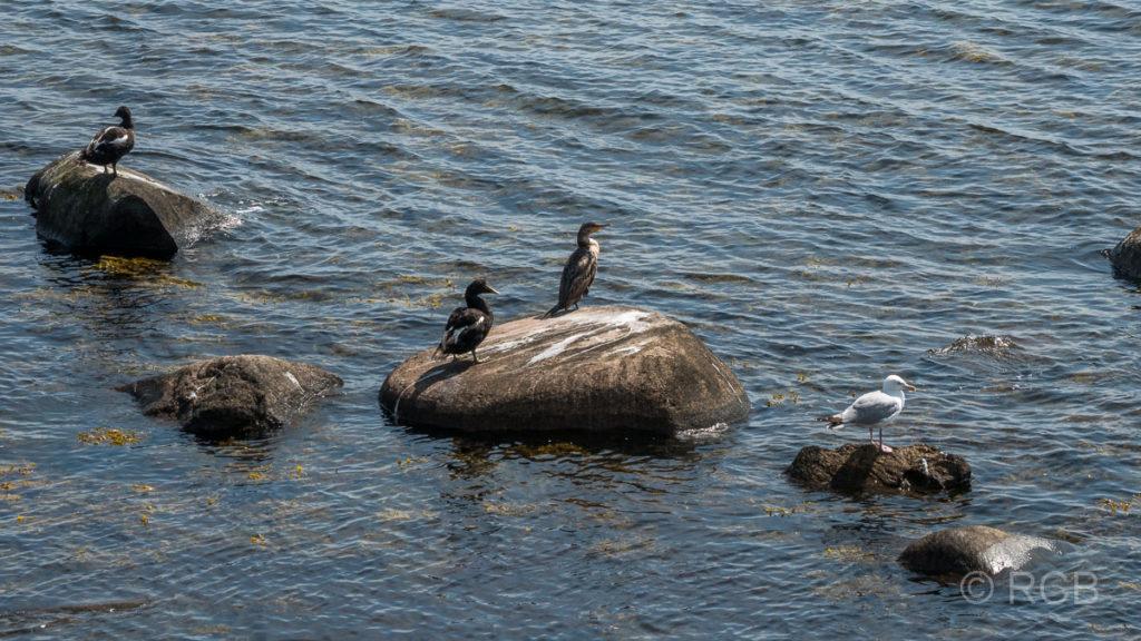 Enten, Möwen und Kormorane an der Ostküste Fehmarns