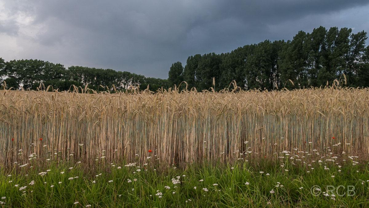 Dunkle Wolken über einem Getreidefeld