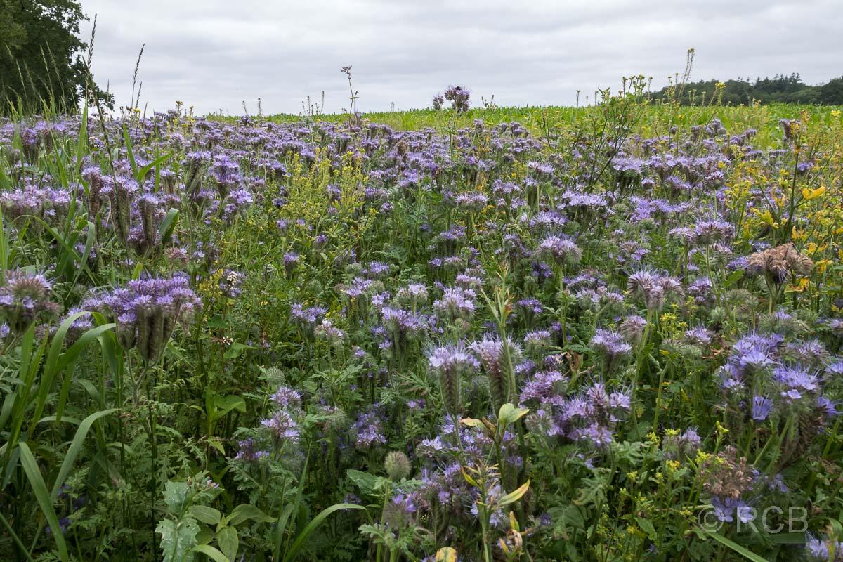violette Blüten am Bungsberg