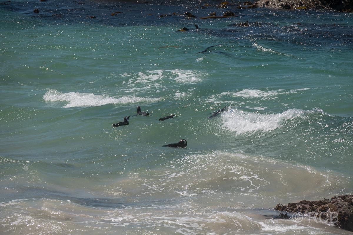 schwimmende Pinguine am Boulders Beach