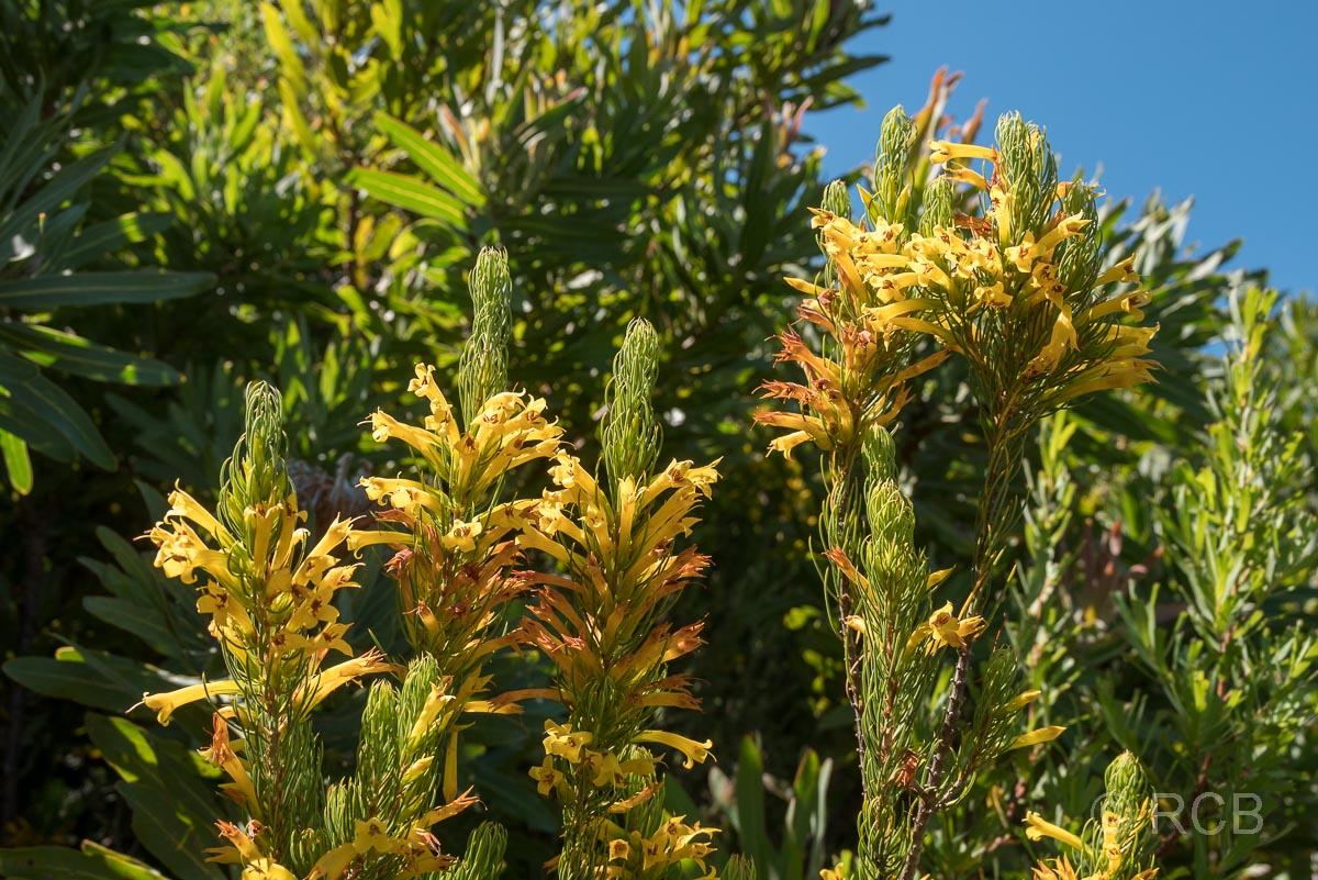 gelbe Blüten im Jonkershoek Nature Reserve
