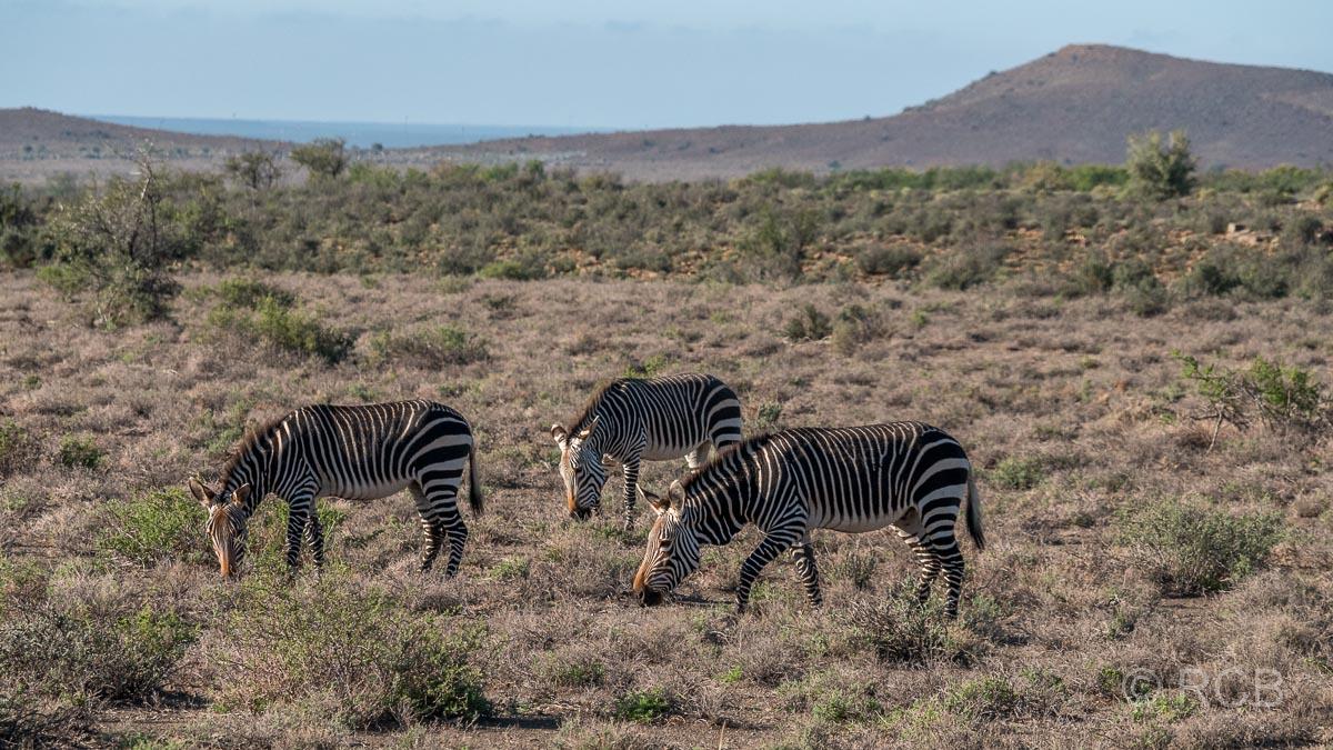 Bergzebras, Karoo NP