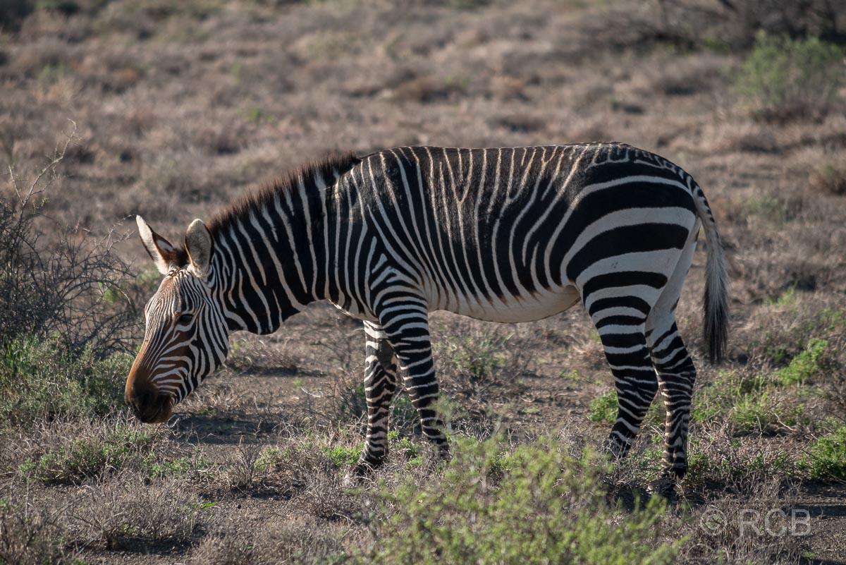 Bergzebra, Karoo NP
