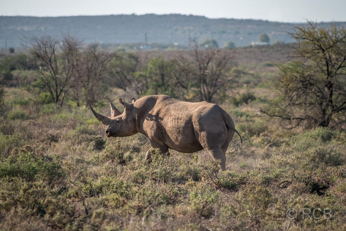 Spitzmaulnashorn, Karoo NP