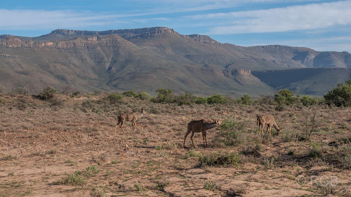 Kudus, Karoo NP