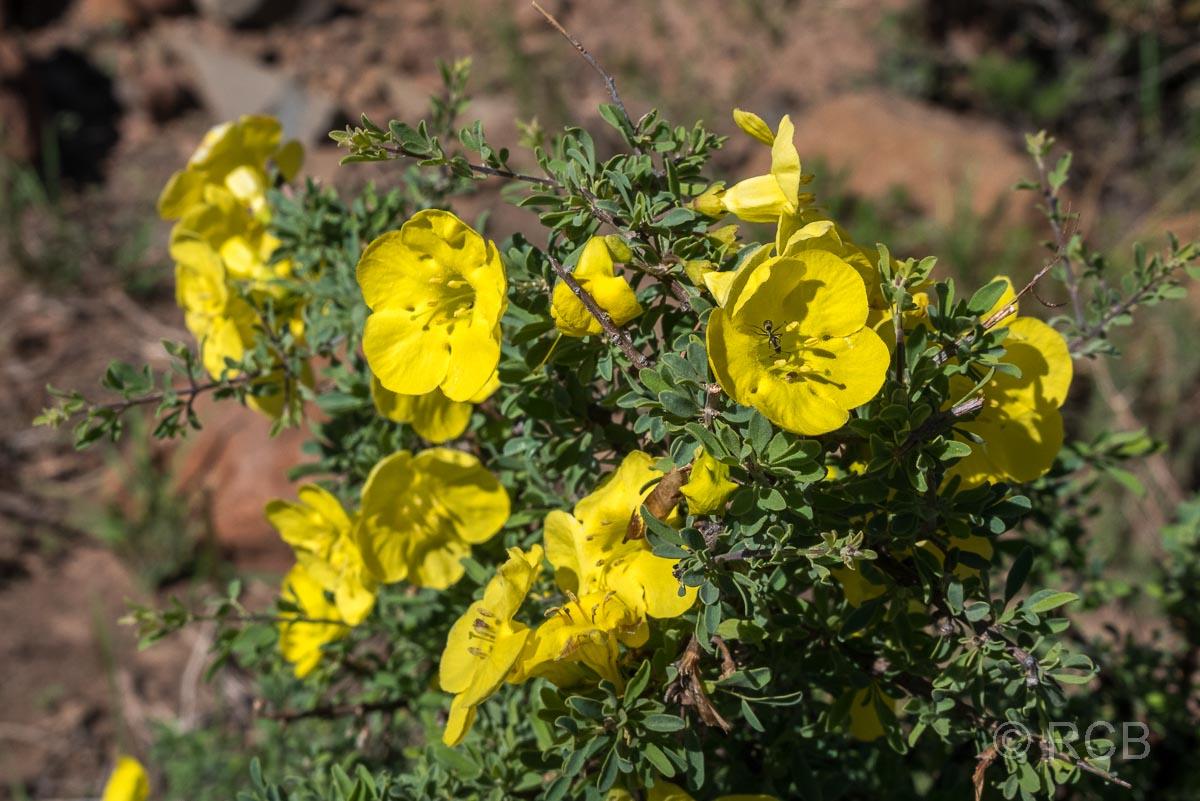 gelbe Blumen im im Karoo NP