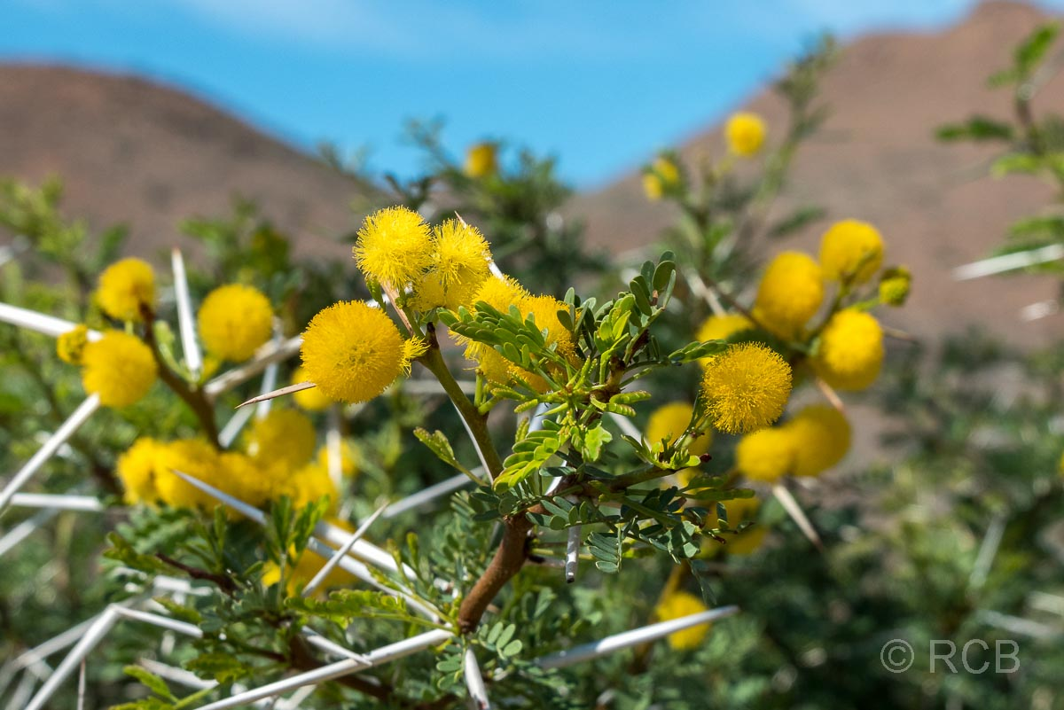 gelbe Blumen im Karoo NP