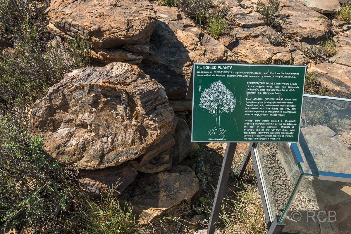 versteinerter Baum am Fossil Track, Karoo NP