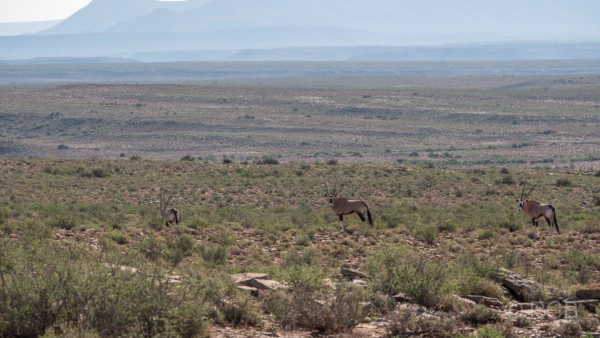 Spießböcke oder Oryx-Antilopen, Karoo NP
