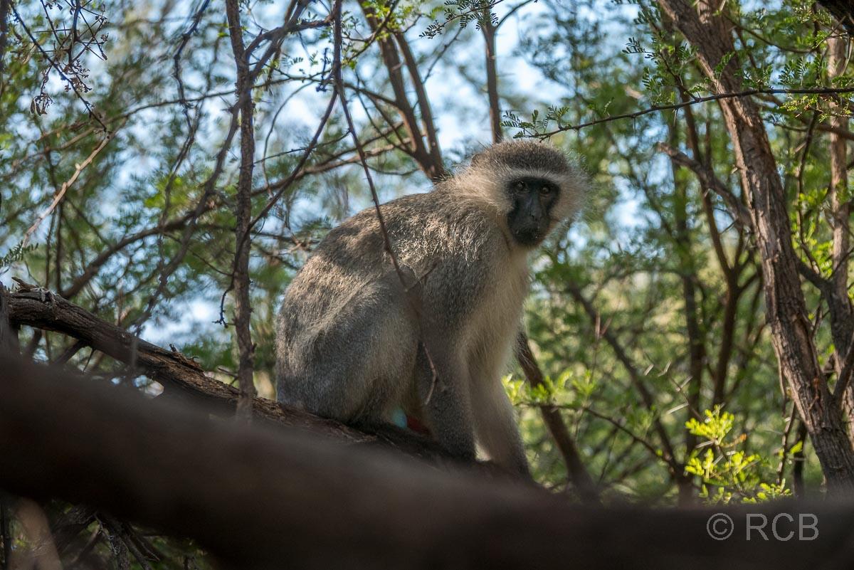 Grüne Meerkatze, Karoo NP