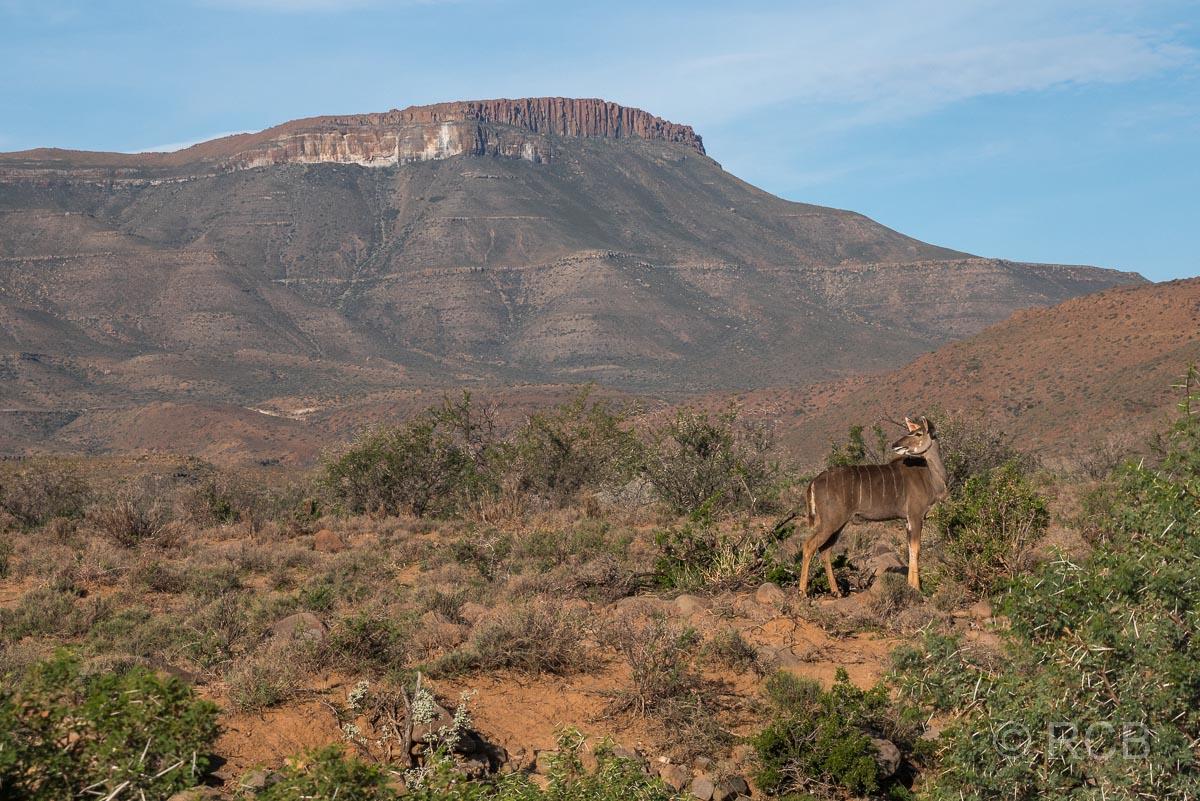 Kudu, Karoo NP