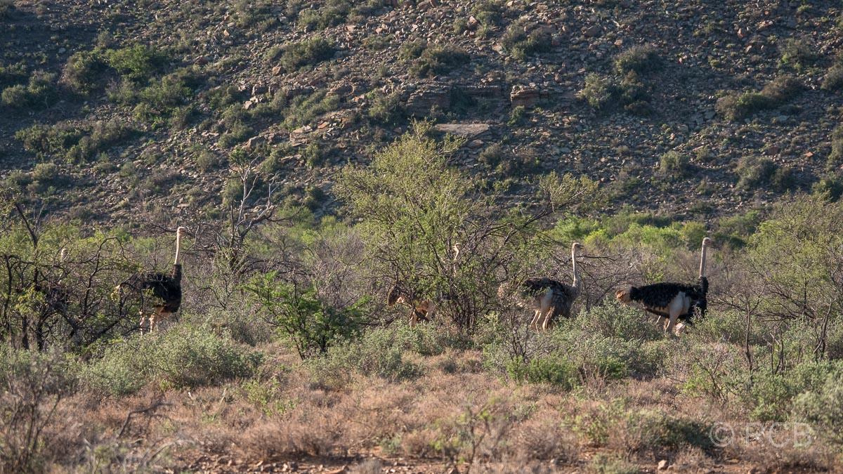 Strauße, Karoo NP