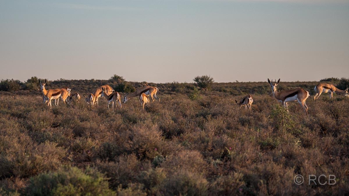 Springböcke, Karoo NP