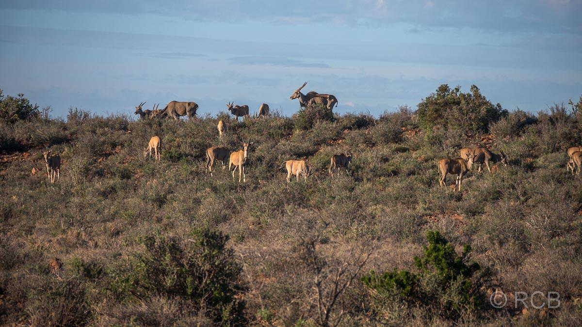 Elen-Antilopen, Karoo NP