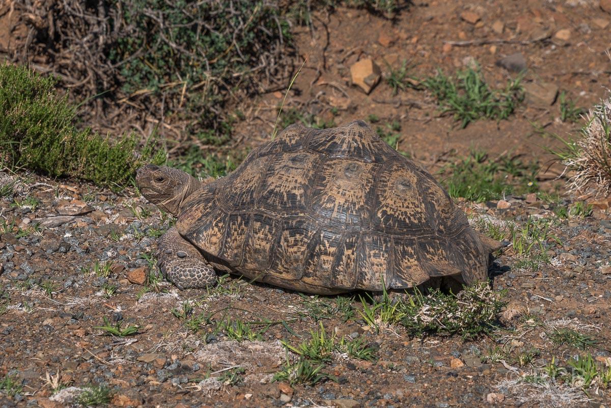 Schildkröte, Karoo NP