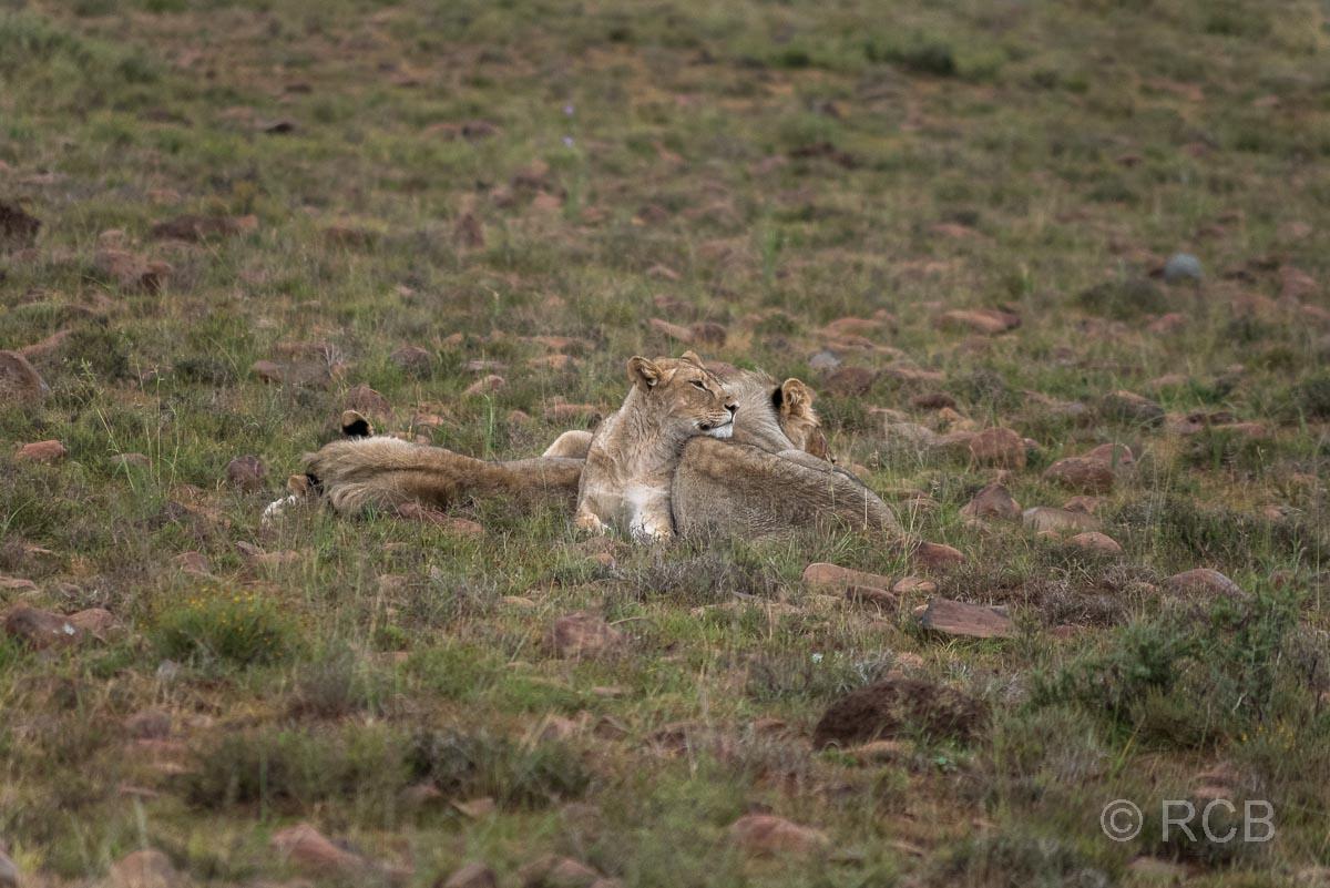 Junge Löwenmännchen, Mountain Zebra National Park