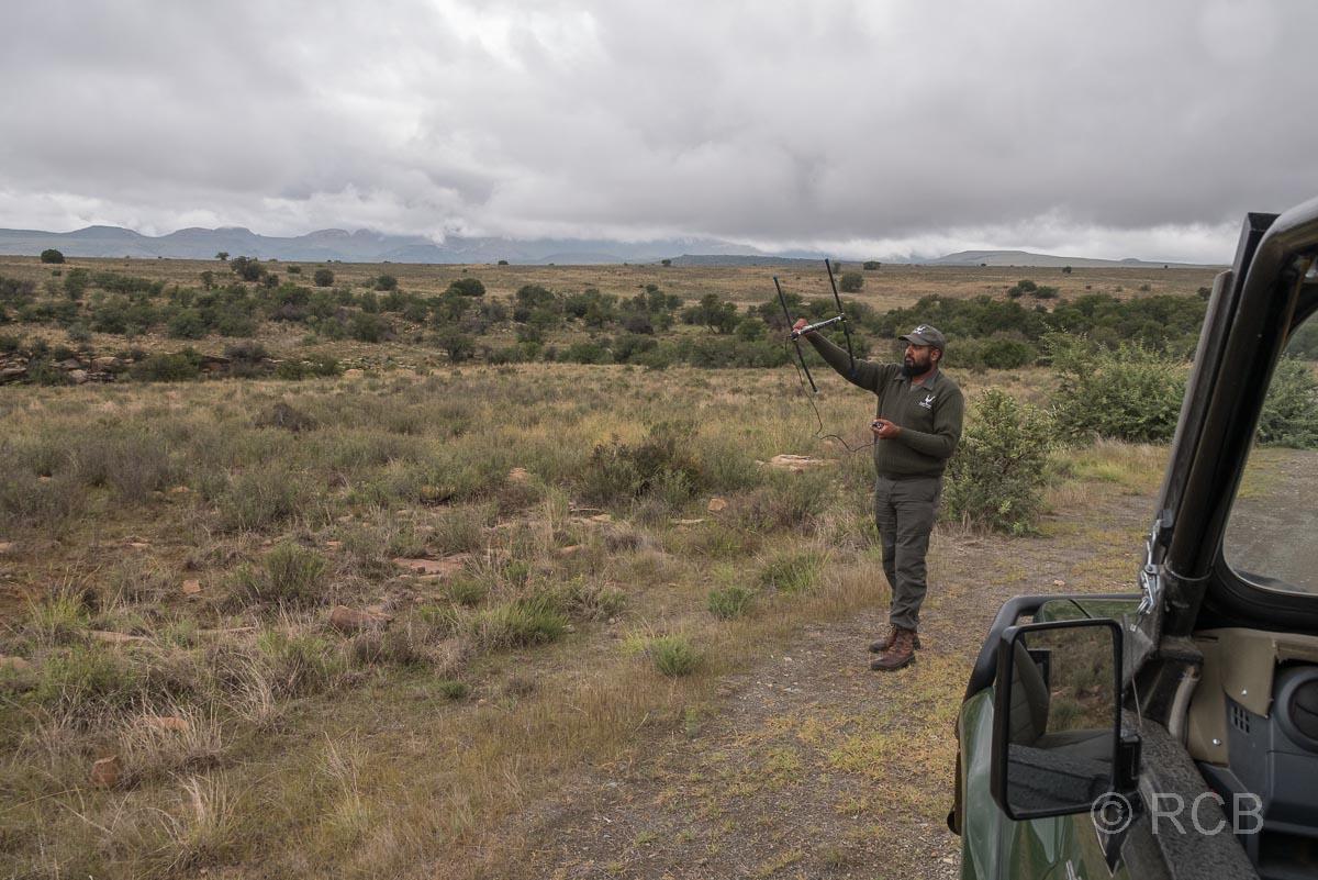 Ranger mit Peilsender beim Geparden-Tracking, Mountain Zebra National Park
