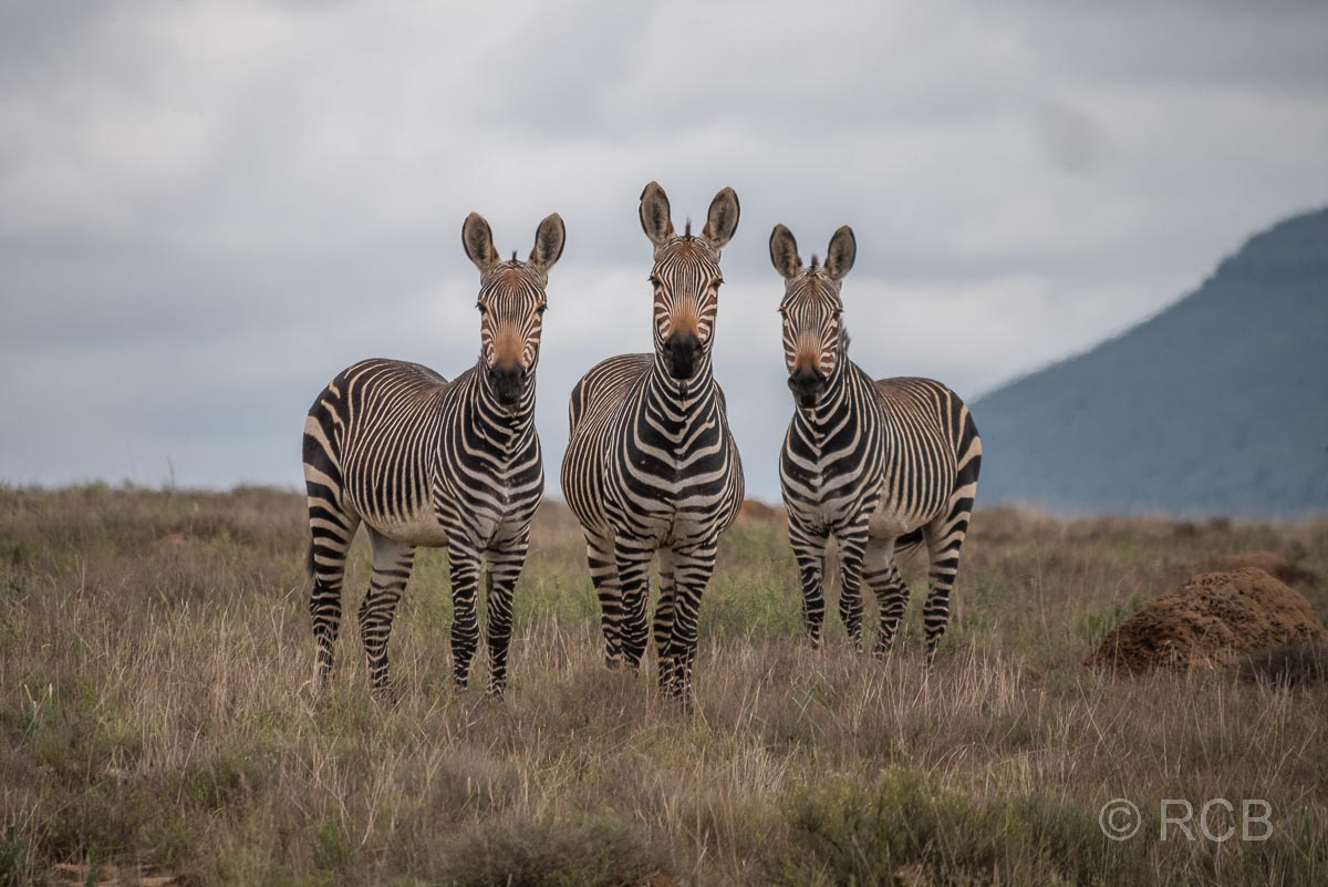 Bergzebras, Mountain Zebra National Park