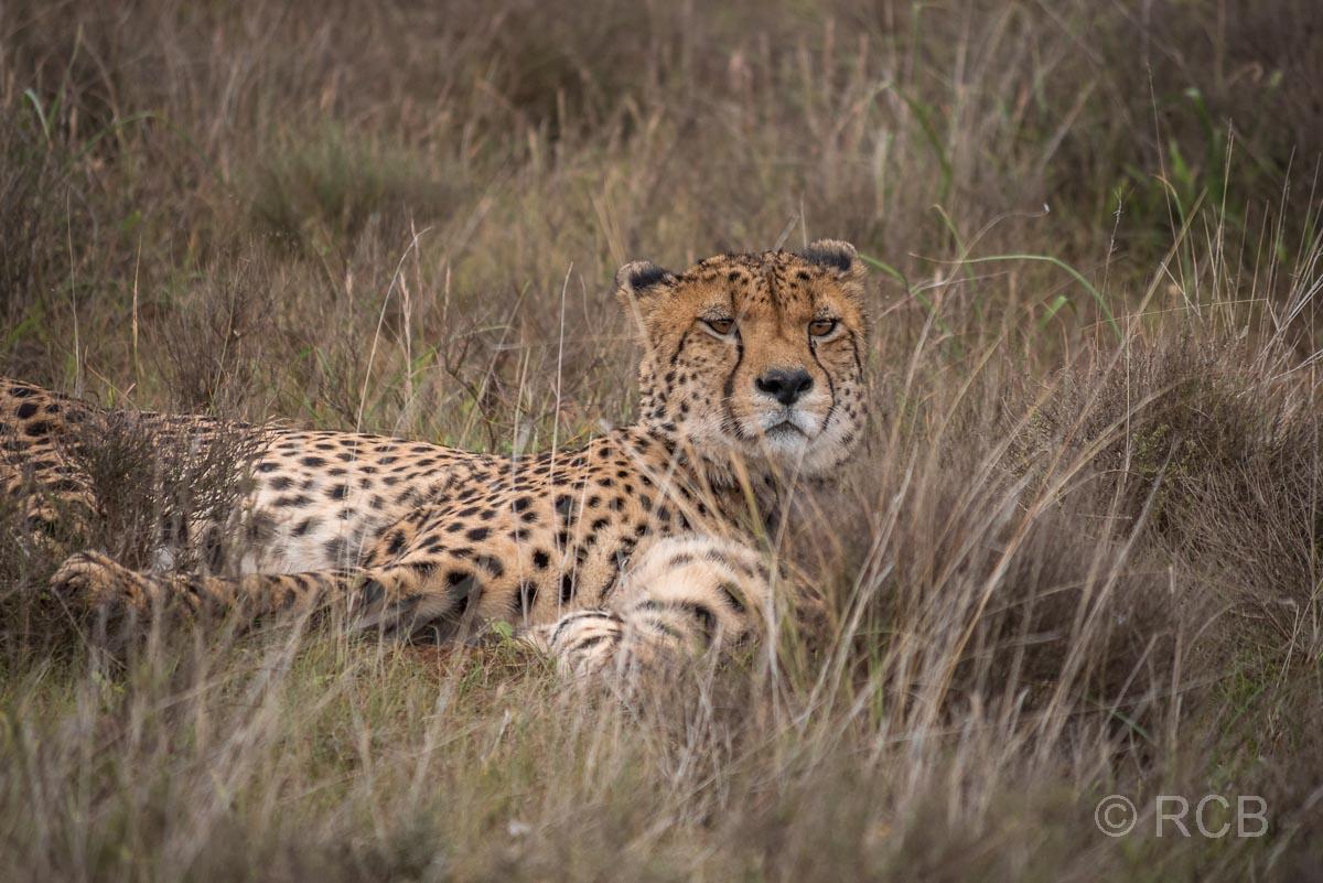 Gepard, Mountain Zebra National Park