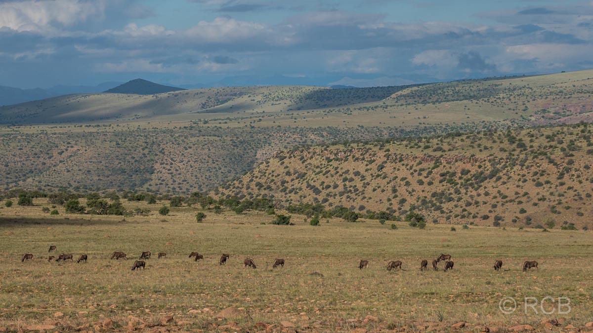 Gnuherde, Mountain Zebra National Park