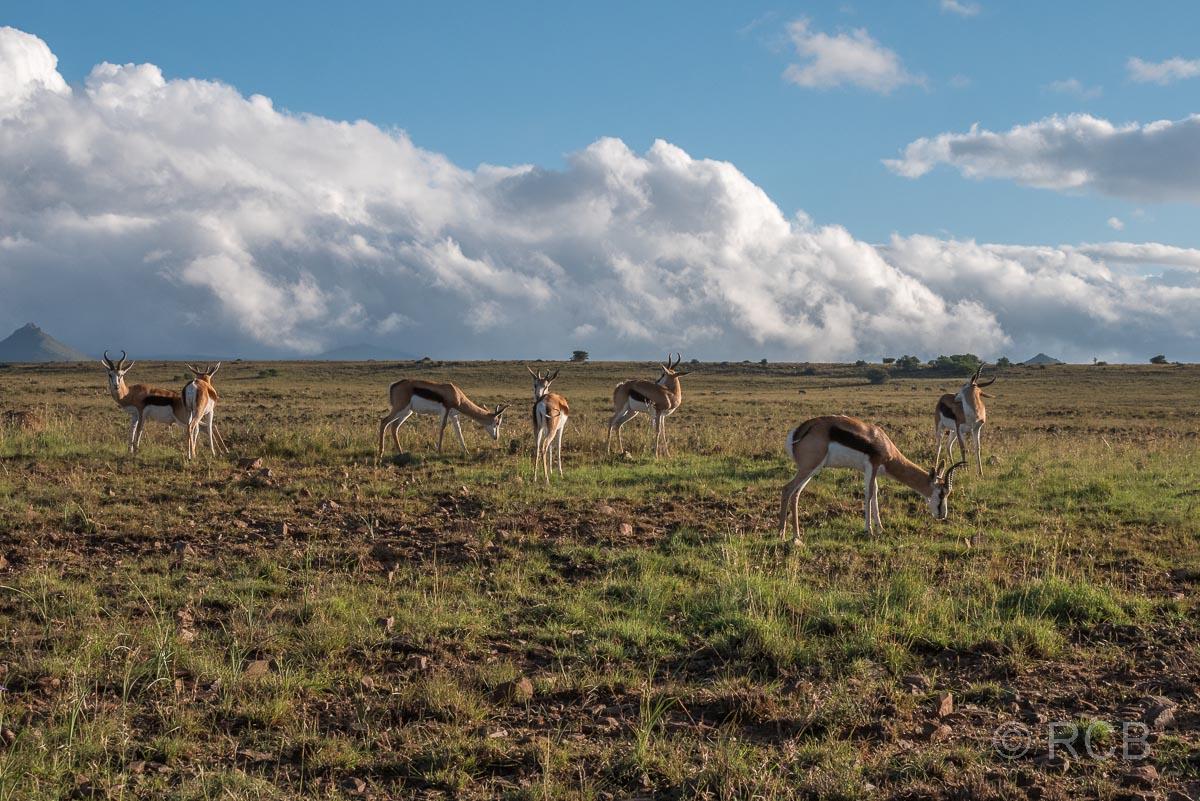 Springböcke, Mountain Zebra National Park
