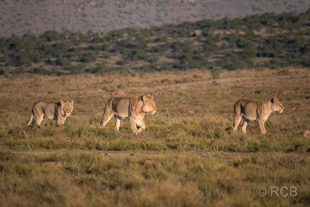 drei junge Löwen laufen durch den Mountain Zebra National Park