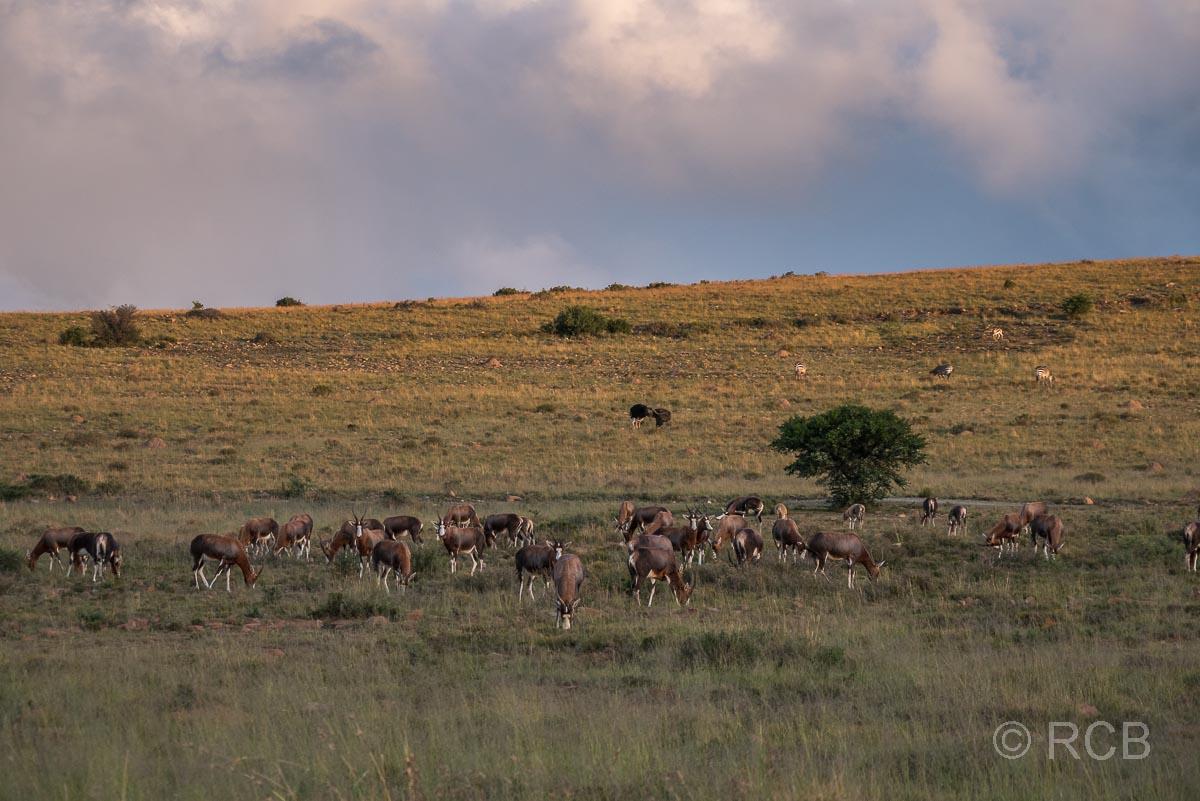 Blessböcke, Mountain Zebra National Park